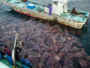 Giant jellyfish in Sea of Japan routinely clog fishing nets