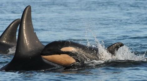 baby orca j28