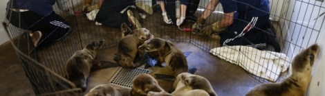 sea lion pups rescued