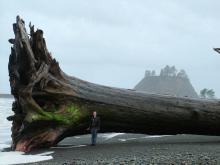 sequoia-driftwood-on-la-push-beach
