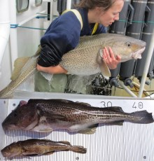 Atlantic_cod_healthy_vs_starving1