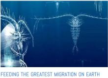 Feeding the greatest migration on earth, tending to plankton blooms