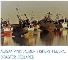 Alaska pink salmon emergency