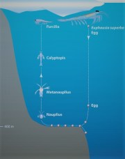 Krill vertical life cycle