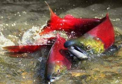 dust for sockeye salmon