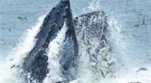 whale menhaden