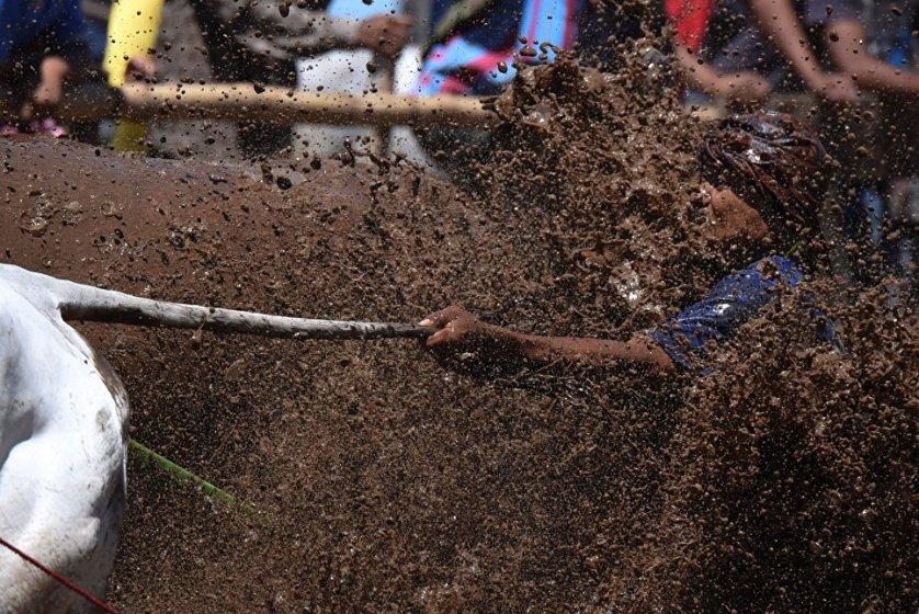 Участник традиционной гонки на быках и коровах в Индонезии.