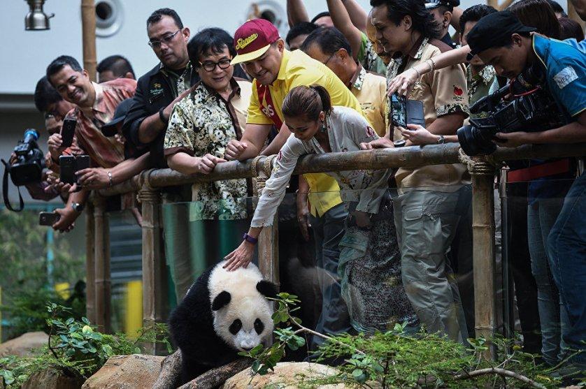 18 августа гигантской панде Nuan Nuan из Национального зоопарка в Куала-Лумпуре исполнился год. Родители малышки - Лян Лян и Син Син, они прибыли в Малайзию из Китая в честь празднования 40-летия дружественных отношений двух стран. Кстати, Лян Лян, маме именинницы, 23 августа исполнилось 10 лет.