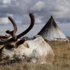 Все поголовье оленей на Ямале будет вакцинировано от сибирской язвы