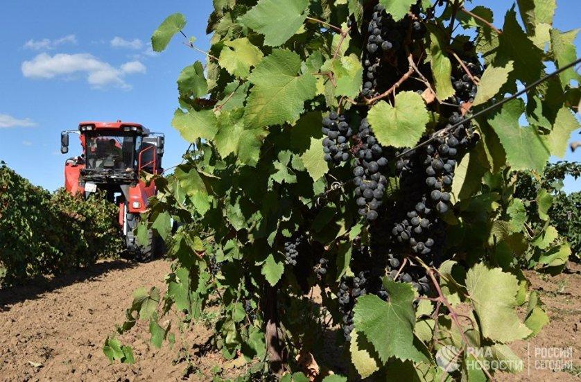 У каждого виноградного куста, как правило, есть свой потенциал. На производстве знают, сколько гроздей винограда может выносить куст того или иного сорта и для какого вина они могут подойти. Если какие-то кусты перегружены урожаем, лишние гроздья срезают.