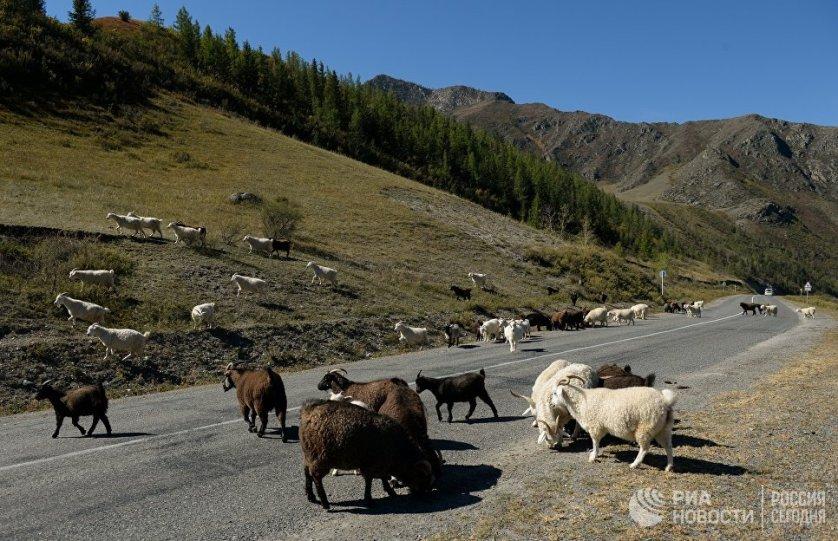 """Стадо овец и коз на автомобильной дороге """"Чуйский тракт"""" в Кош-Агачском районе."""