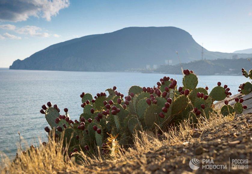 Дикорастущие кактусы на мысе Плака в поселке Утес.