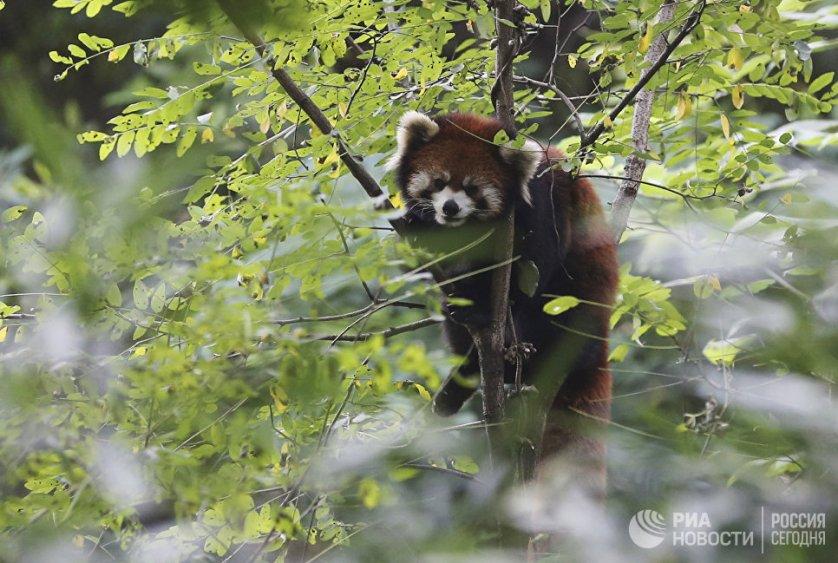 В заповеднике в Чэнду также содержатся красные панды.