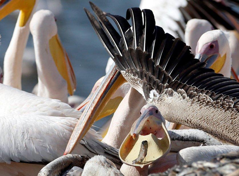 Любимым лакомством розовых пеликанов, как и других представителей этого вида, является рыба. Чаще всего пеликаны ловят рыбу сообща, что довольно редко встречается среди птиц.