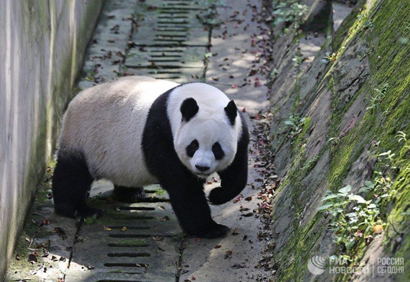Большая панда является символом Всемирного фонда дикой природы.