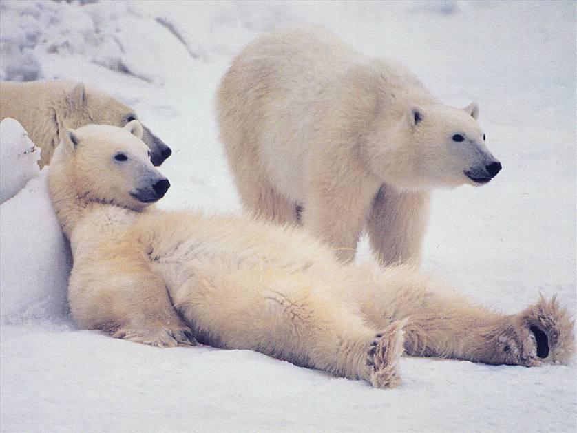 polar-bear_1