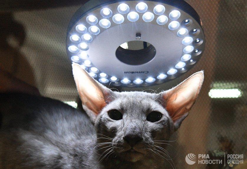 """Кошка породы петерболд на выставке """"Кэт-Салон-Декабрь"""" в Москве."""
