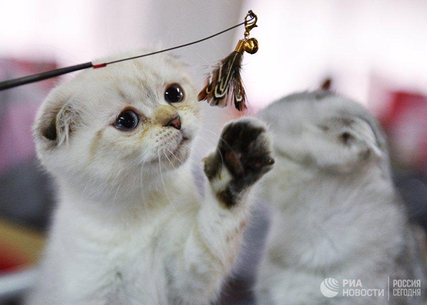 """Кошки породы шотландская вислоухая на выставке """"Кэт-Салон-Декабрь"""" в Москве."""