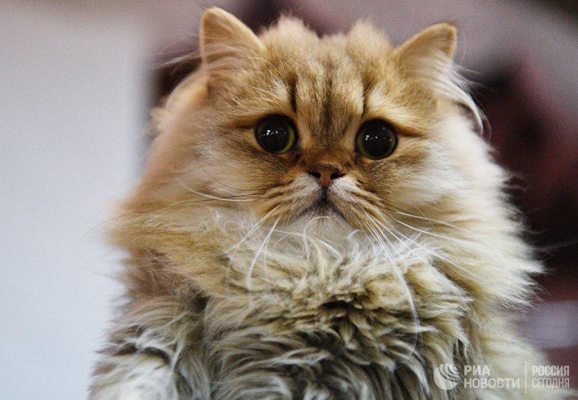 """Кошка породы британская длинношерстная на выставке """"Кэт-Салон-Декабрь"""" в Москве."""