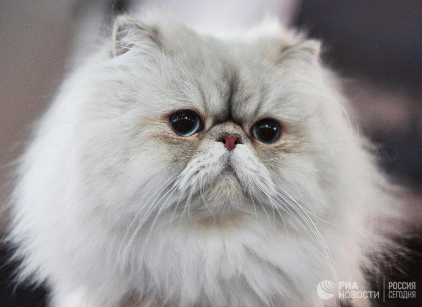 """Кошка породы персидская на выставке """"Кэт-Салон-Декабрь"""" в Москве."""