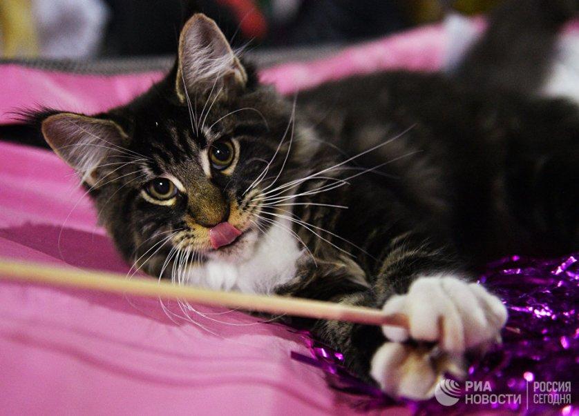 """Кошка породы мейнкун на выставке """"Кэт-Салон-Декабрь"""" в Москве."""