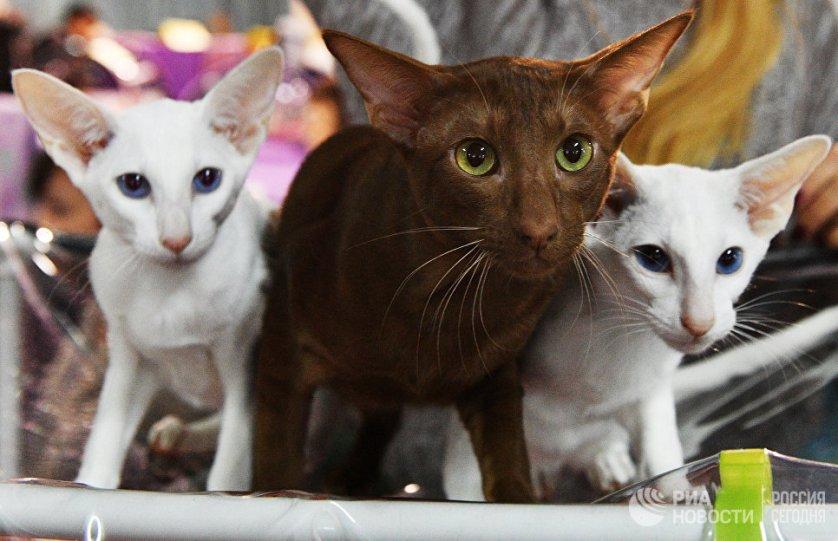 """Кошки породы ориентальная на выставке """"Кэт-Салон-Декабрь"""" в Москве."""