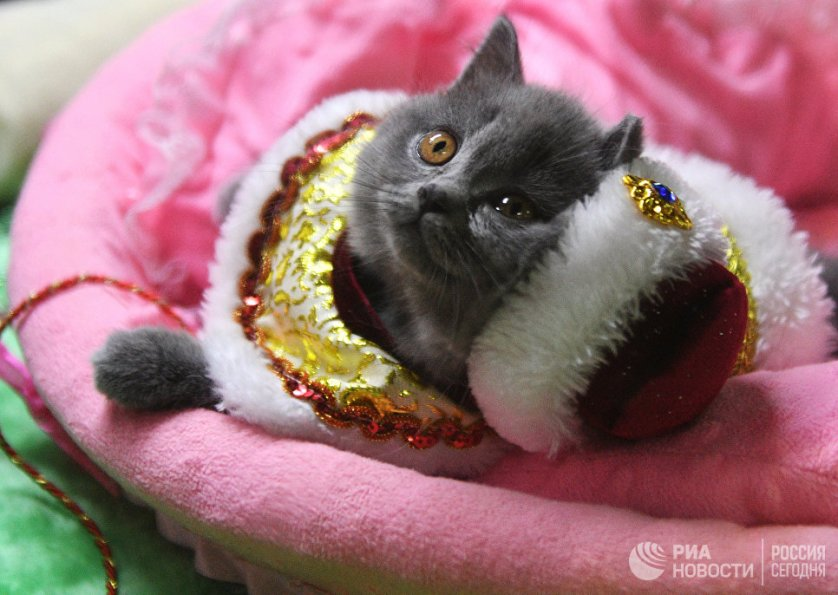"""Кошка породы британская на выставке """"Кэт-Салон-Декабрь"""" в Москве."""