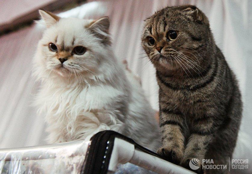 """Кошки пород британская длинношерстная (слева) и шотландская вислоухая на выставке """"Кэт-Салон-Декабрь"""" в Москве."""