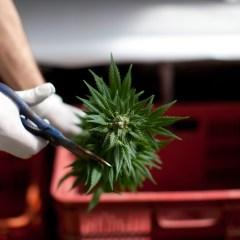 В Германии одобрили медицинское употребление марихуаны