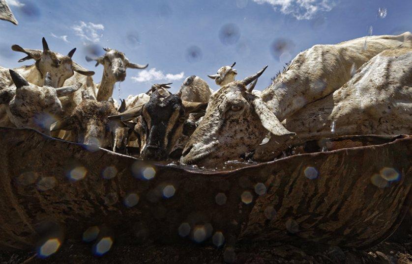 Козы кинулись к поилке после того, как вода была танкером доставлена скотоводам в пострадавшие от засухи регионы Сомали.