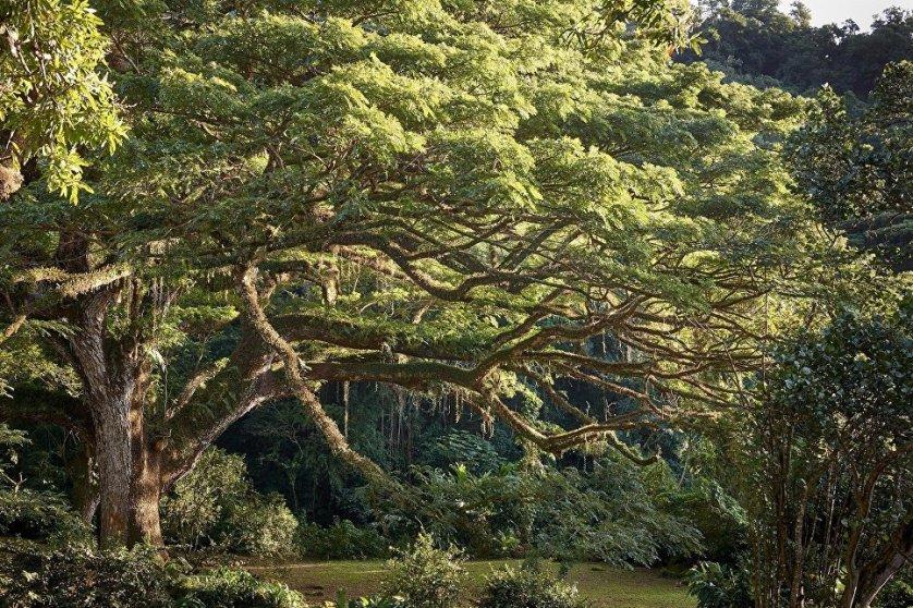 Четвертое место в конкурсе заняло дождевое дерево (саман), растущее на острове Мартиника на плантации Habitation Céron, существующей с XVII века. Это одно из самых больших деревьев, растущих на малых Антильских островах. Саман защищает плантации кофе и какао от непогоды. Он даже пережил извержение вулкана Монтань-Пеле в 1902 году.