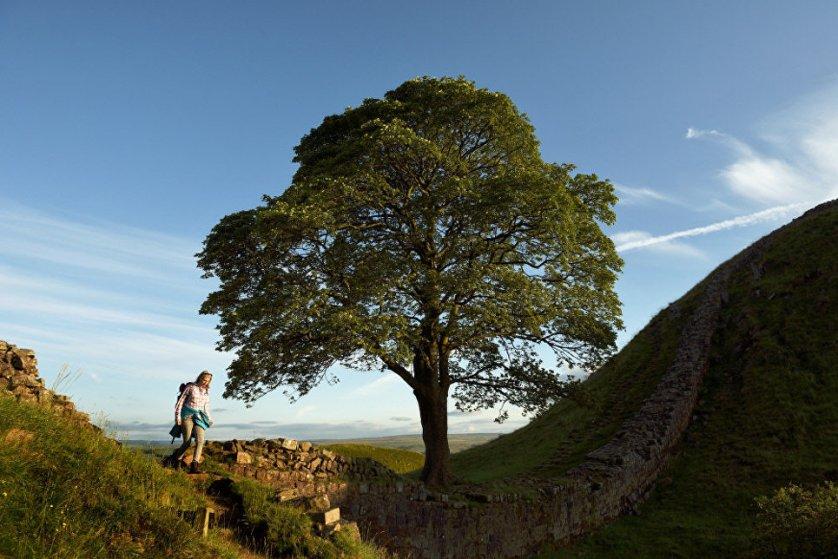 """Пятое место конкурса в этом году занял платан, растущий в Национальном парке Нортамберленда в Великобритании. Это, пожалуй, самое известное дерево в Голливуде. Именно здесь снимался фильм """"Робин Гуд: принц воров"""" с Кевином Костнером в главной роли. Рядом с деревом проходит Вал Адриана - оборонительное укрепление, построенное римлянами в 122-126 годы."""