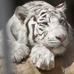Тигров из вылетевшего с дороги под Оренбургом грузовика решили «отправить дальше»