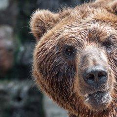 Жители Челябинска сняли на видео гуляющего по городу медведя