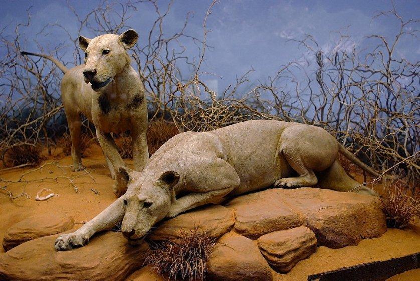 Ученые: львы-людоеды из Кении убивали людей ради удовольствия