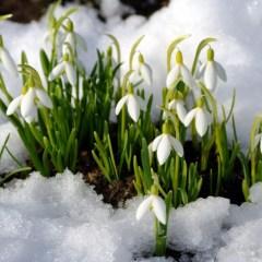 19 апреля — День подснежника