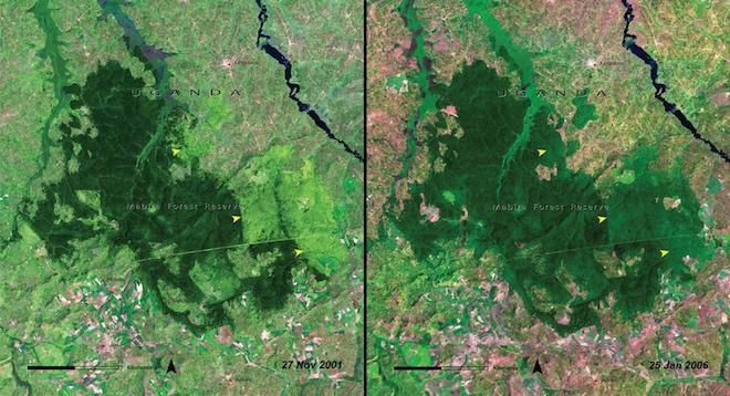 И вырубка продолжает брать свое, как показывают эти два снимка леса Мабира в Уганде в 2001 году и 5 лет спустя. © NASA