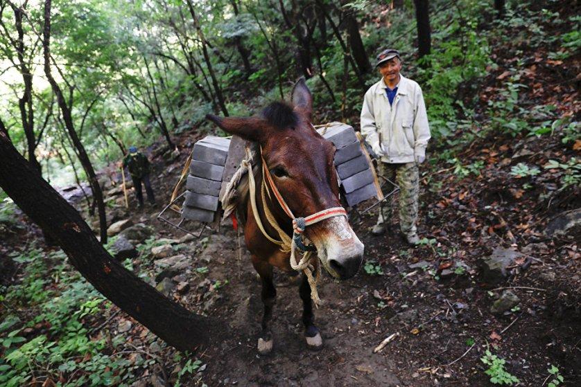 Чтобы вести реставрацию на этом участке стены, рабочие активно используют мулов. На каждого животного грузят до 130 килограммов кирпичей, с которыми они идут вверх к подножию стены.