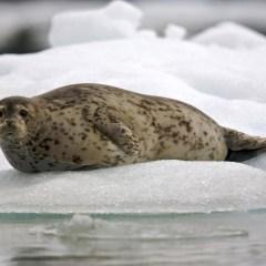 Власти Эстонии утверждают, что «Северный поток — 2» может навредить тюленям