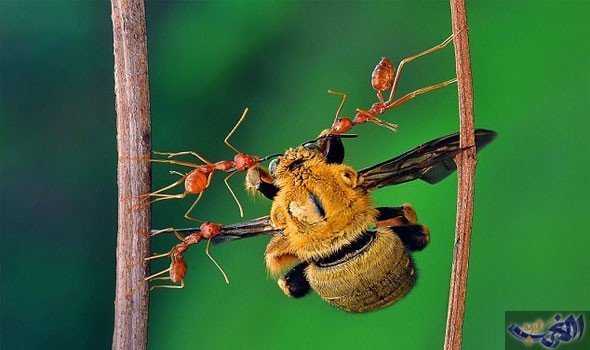 النمل يمثل ربع أعداد الحيوانات جميعًا على وجه الأرض