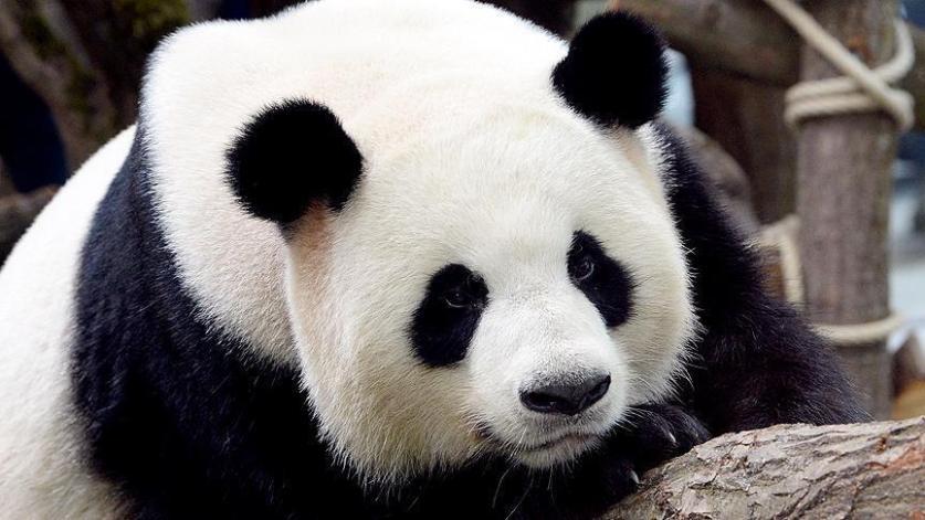 """الصين.. الباندا """"نيني"""" تلد توأم """"ذكر وأنثى"""""""
