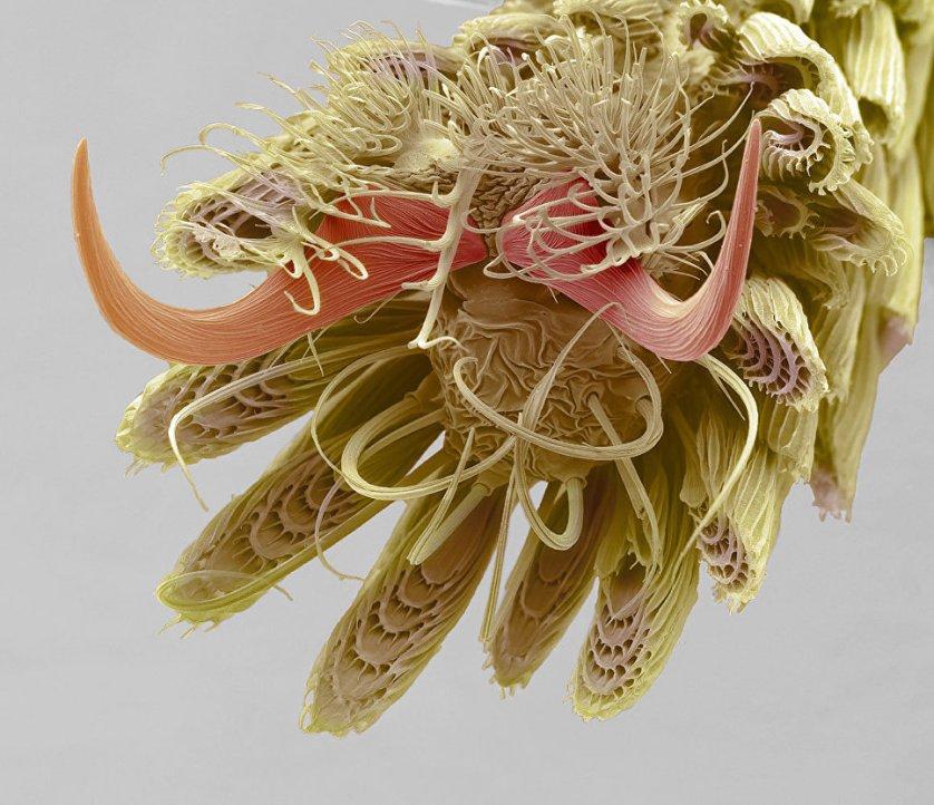 """Снимок """"Лапки комара"""" Стивена Гшмейзнера. На фото - строение нижней части лапки насекомого: коготки, цепляющая подушечка с клейкими щетинками и окружающие чешуйки."""