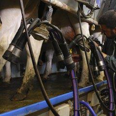 СМИ: Danone перевезет из ЕС в Сибирь пять тысяч коров из-за продэмбарго