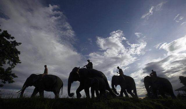 """У слонов отличный слух. Но африканские слоны, помимо этого, могут """"слышать"""" ногами. Они улавливают вибрацию при помощи особых чувствительных клеток на ступнях."""