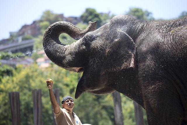 Самый крупный представитель семейства - Саванный слон, некоторые животные достигают веса в 12 т.