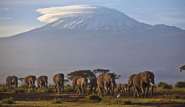 Африканские слоны крупнее индийских. Численность вида оценивается в более чем 15 тыс.