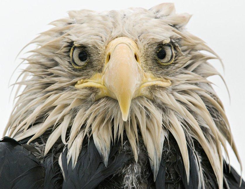 """Работа фотографа из Германии Крауса Нигге """"Дерзкий орлан"""" (Bold eagle) в категории """"Портреты животных"""". Снимок этого белоголового орлана был сделан на острове Амакнак. Птица нисколько не боялась людей и воровала у рыбаков остатки улова."""