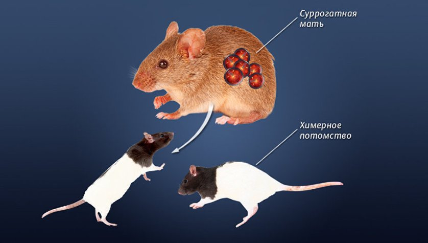 Третий этап создания нокаутных мышей