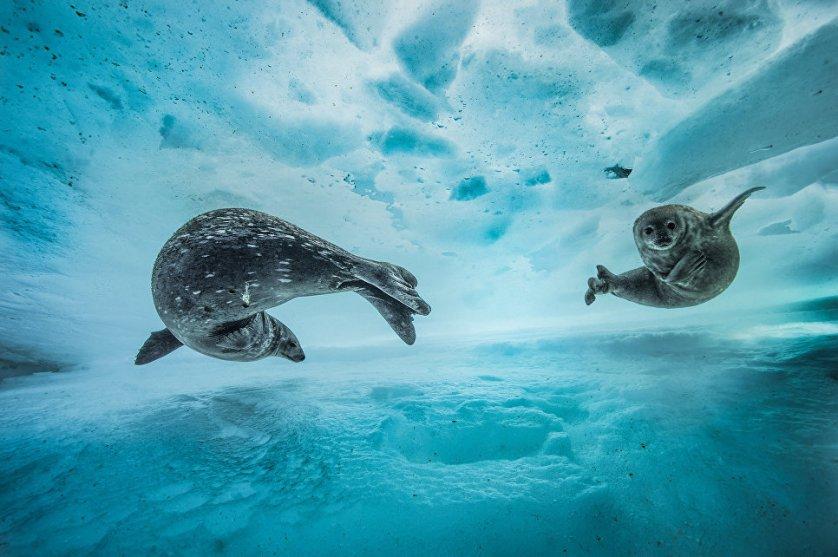 """Работа фотографа из Франции Лорен Баллеста """"Тренировка по плаванию"""" (Swim gym) в категории """"Поведение: Млекопитающие"""". Снимок тюленей, самки с детенышем, был сделан ранней весной в Восточной Антарктиде."""