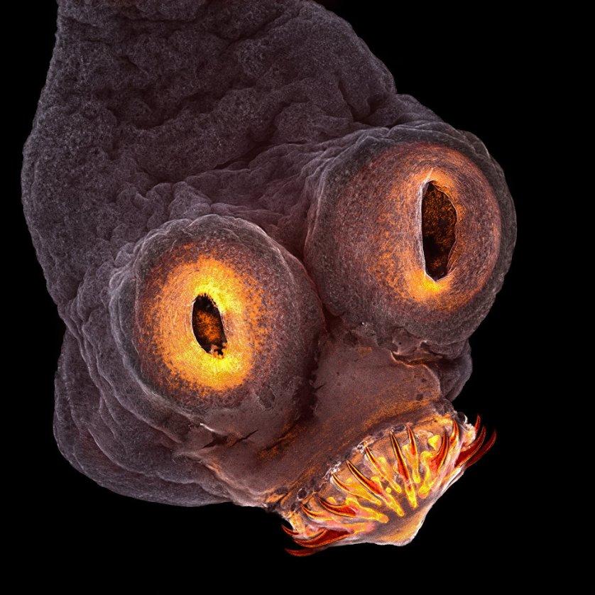 Четвертое место конкурса досталось снимку Терезы Згоды из Рочестерского технологического института, США. На фото - голова ленточного червя, снятая с помощью 200-кратного увеличения.
